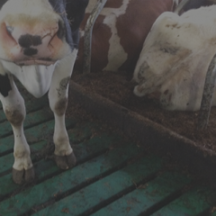 Vloeren in de veehouderij